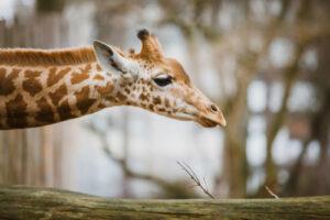 Wiedereröffnung Zoo Zürich am 6. Juni