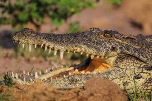 Nachwuchs bei zwei Krokodil-Arten im Zoo Basel