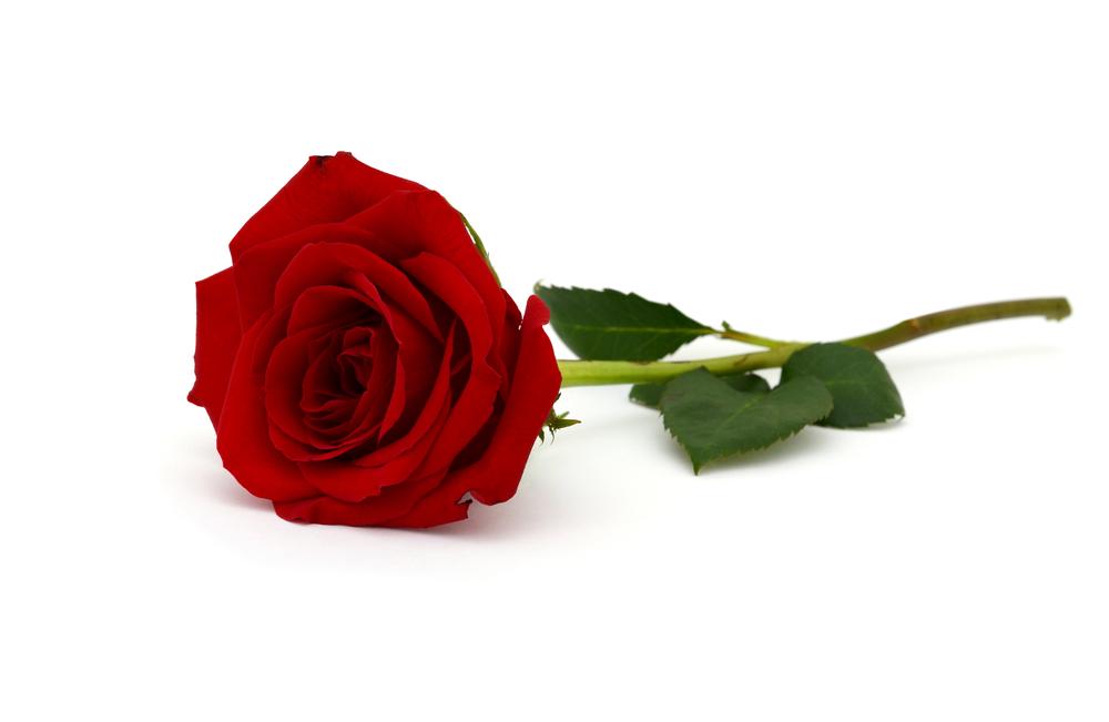 Die rote Rose ist das bekannteste Symbol für Liebe und Leidenschaft